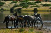 Cavalli all'Asinara