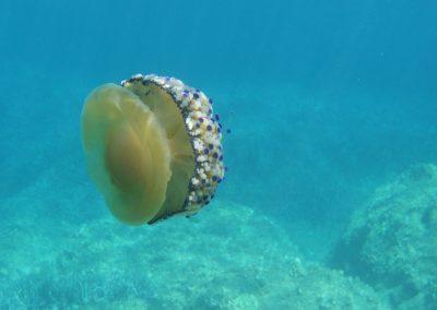 Medusa Cassiopea Mediterranea