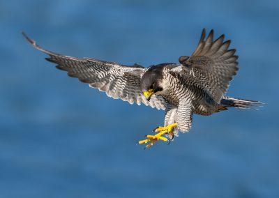 Falco Pellegrino in atterraggio