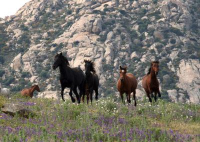 Cavalli al galoppo