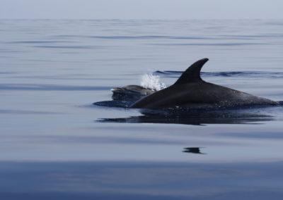 Delfino tursiope con piccolo