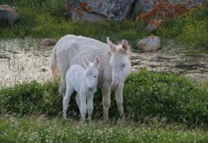 Cucciolo Asinello Bianco con Madre e pozza Asinara Primavera