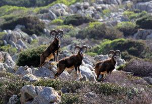 Mufloni in allerta a cala di scombro di dentro Primavera all'Asinara